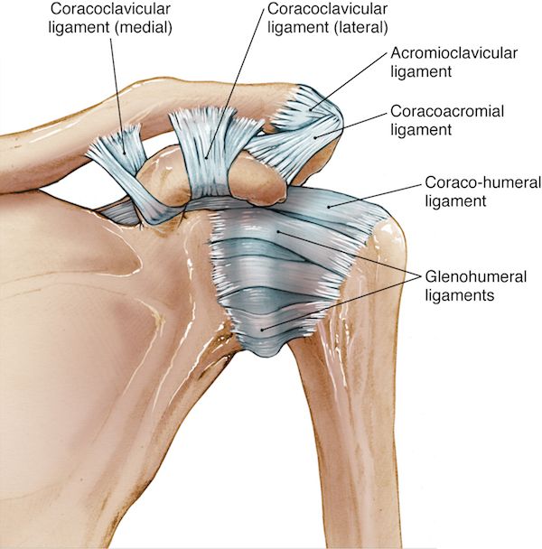 The joint capsule is formed by several ligaments holding together the bones that articulate with one another