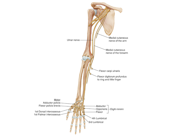 Drawing of the ulnar nerve showing the muscles of the outer region of the hand and fingers controlled by this nerve as opposed to the median nerve