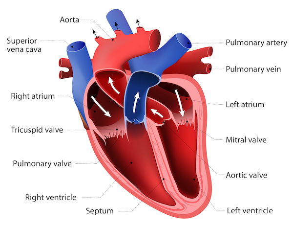 Anatomy of a healthy heart showing all its components, including the left ventricle from where the blood is pumped to the largest artery of the body, the aorta
